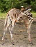 grevy зебра Стоковое фото RF