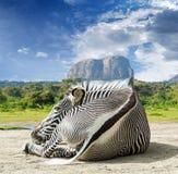 Grevy - зебра Стоковые Изображения RF