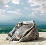 Grevy - зебра Стоковые Фото