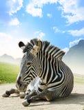 Grevy - зебра Стоковое фото RF