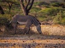 Grevy' зебра s в национальном заповеднике Shaba, Samburu стоковая фотография rf