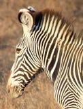 Grevy& x27; зебра s в национальном заповеднике Samburu Стоковые Изображения RF