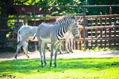 grevy зебра s Стоковое Фото