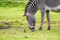 grevy зебра s Стоковые Фотографии RF