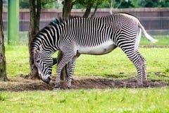 grevy зебра s Стоковое Изображение