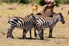 grevy зебра s Стоковая Фотография RF