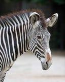 grevy зебра s Стоковое Изображение RF