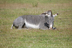 grevy зебра s Стоковое фото RF