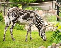 grevy зебра s Стоковые Изображения