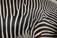 Grevy& x27; зебра s & x28; Grevyi& x29 Equus; , также как имперская зебра Стоковое фото RF
