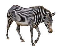 grevy изолированная зебра Стоковые Изображения