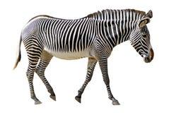 grevy изолированная зебра Стоковое фото RF