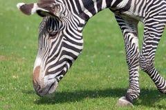 Grevy ` s斑马马属grevyi在莫斯科动物园里 免版税库存图片