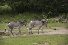 Grevy ` s斑马马属grevyi或皇家斑马 免版税库存图片