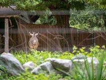 Grevy s斑马马属grevyi,一个濒于灭绝的物种,在篱芭里面的立场在动物园展览 免版税库存照片