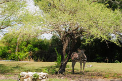 grevy s potomstw zebra Obraz Royalty Free