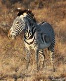 Grevy& x27; s-sebra i Samburu den nationella reserven Royaltyfri Foto