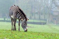 Grevy ` s zebra Obraz Stock