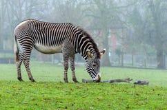 Free Grevy`s Zebra Royalty Free Stock Photos - 108515148
