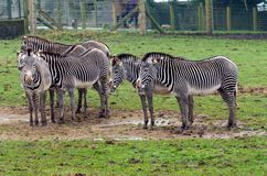 Grevy ` s zebra Fotografia Royalty Free