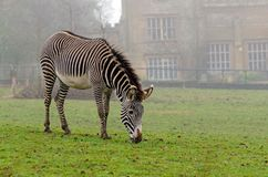 Grevy ` s zebra Zdjęcie Stock