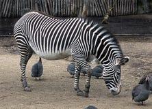 Grevy ` s zebra Obraz Royalty Free