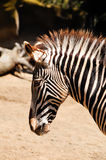 Grevy's zebra Stock Photo