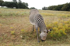 Grevy's Zebra. (Equus grevyi) lives in semi arid and scrub grasslands and is an endagered species has very narrow, close stipes on mane.  Stripes extend down Stock Photo