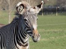 Grevy's Zebra Stock Photos
