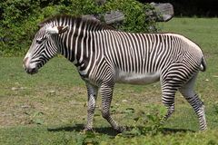 Grevy's zebra Royalty Free Stock Photo
