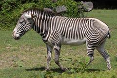 Grevy's zebra. The Grevy's zebra in the meadow Royalty Free Stock Photo