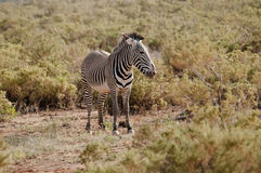 Grevy's zebra. Royalty Free Stock Photography