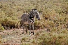 Grevy's zebra. Royalty Free Stock Photography
