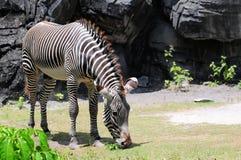 Grevy's Zebra Stock Images