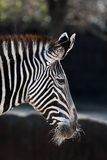 Grevy's Zebra Royalty Free Stock Images