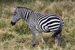Grevy's Zebra Stock Image