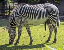 Grevy ` s zebra Fotografia Stock