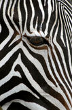 Grevy's Zebra. A Grevy's zebra (Equus grevyi) at Zoo Dvur Kralove in Eastern Bohemia, Czech Republic. This zebras habit in Eastern Ethiopia, Somali and Northern Stock Photos