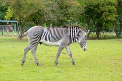 Free Grevy S Zebra Stock Photography - 58234572