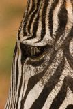 Grevy's Zebra. Close-up Zebra Stock Images