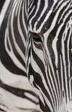 Grevy's Zebra Royalty Free Stock Image
