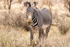 Grevy`s Zebra Royalty Free Stock Images