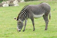 Grevy`s Zebra. A Brevy`s Zebra grazes Royalty Free Stock Images