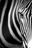 Grevy's zebra close up. Stock Photo