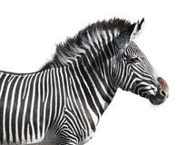 Grevy's zebra closeup cutout. Grevy's zebra closeup isolated on white with clipping path Royalty Free Stock Photography