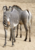 Grevy's zebra Royalty Free Stock Photography