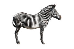 Grevy's zebra cutout. Grevy's zebra isolated over white with clipping path Royalty Free Stock Images