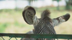Grevy`s Zebra Ears. Big ears Grevy`s zebra close-up stock video