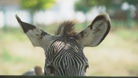 Grevy`s Zebra Ears. Big ears Grevy`s zebra close-up stock video footage