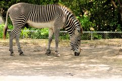 Grevy's zebra eating Royalty Free Stock Photos